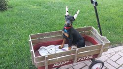 She loves to ride in the wagon!